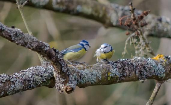 """Site internet : """"Couple de mésanges bleues"""""""