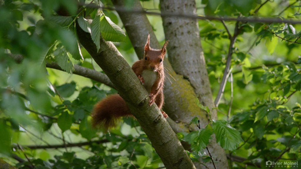ecureuil-roux