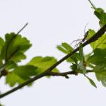 Araignée et aubépine blanche