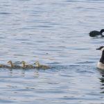 Bernaches du Canada et leurs oisons