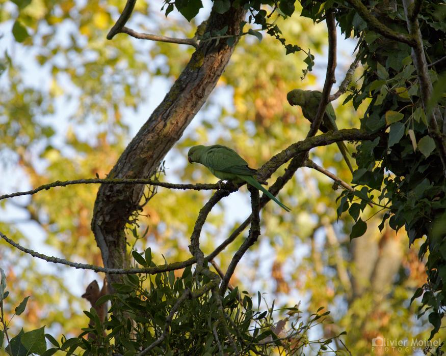 Deux Perruches à collier sur une branche et un Écureuil roux qui apparaît grimpant le long d'un tronc