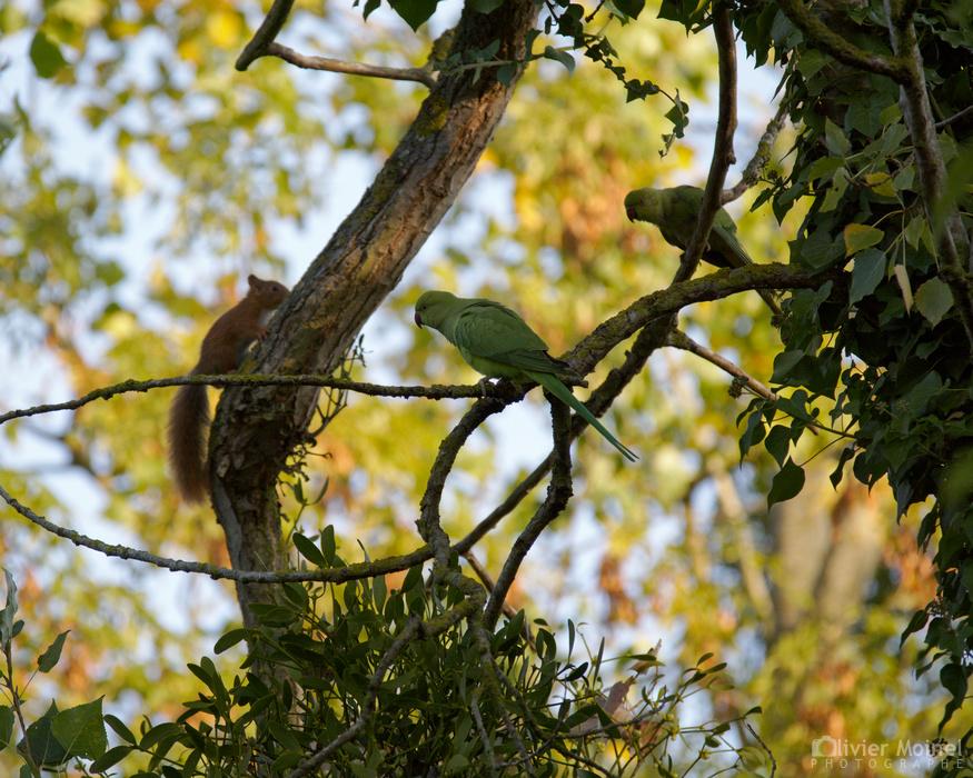 Deux Perruches à collier sur une branche et un Écureuil roux qui grimpe le long d'un tronc