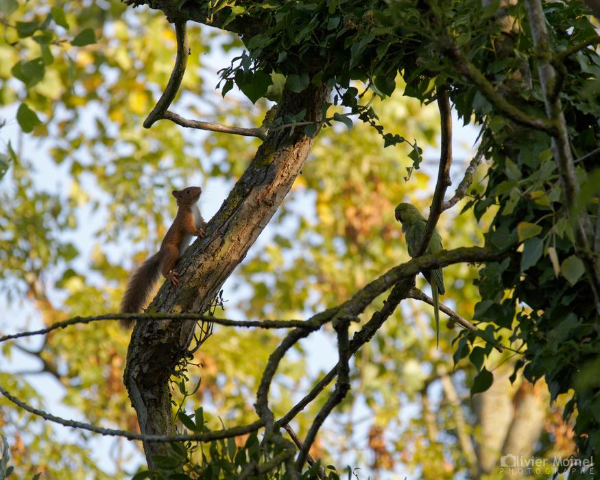 Une Perruche à collier sur une branche, l'autre sur l'arbre au dessus de l'Écureuil roux qui s'est figé