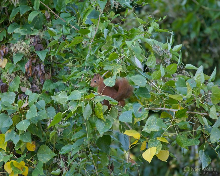 Jeune Écureuil roux dans un arbre