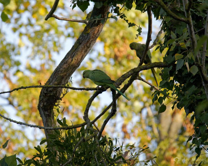 Deux Perruches à collier sur une branche