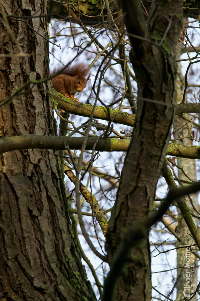 Écureuil roux perché dans un arbre