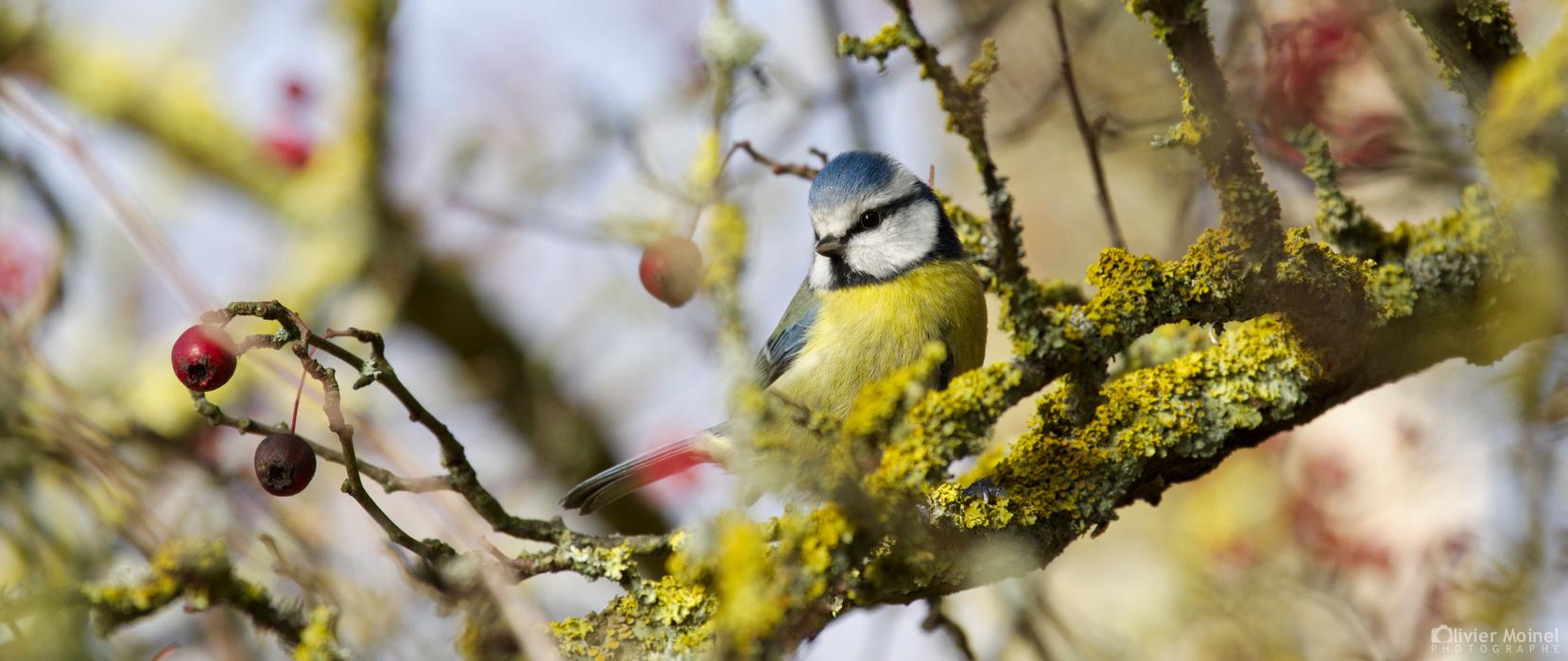 Mésange bleue perchée sur une branche
