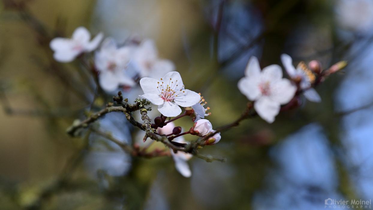 C'est le printemps sur ce rameau de prunier sauvage