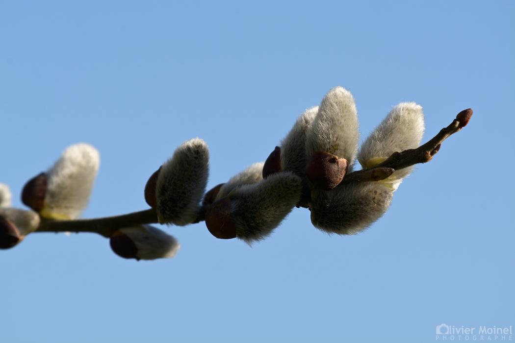 Extrémité en fleur d'un rameau de Saule marsault