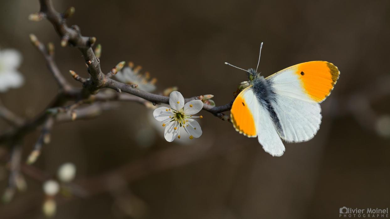 Papillon Aurore sur un rameau de Prunellier