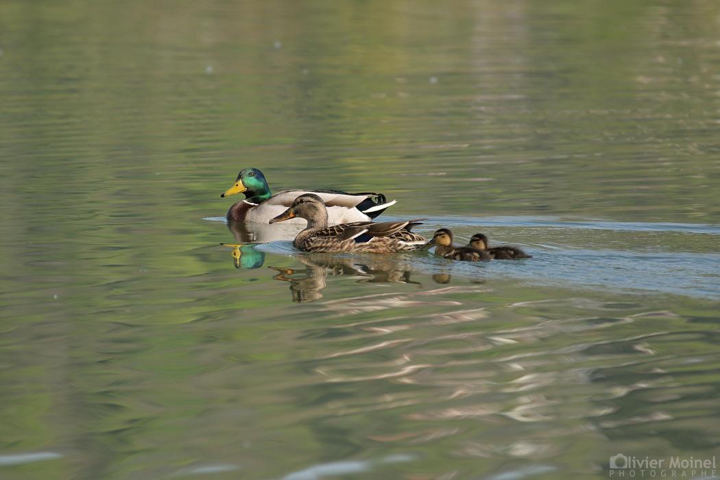 Famille Canards Colvert sur les eaux d'un étang