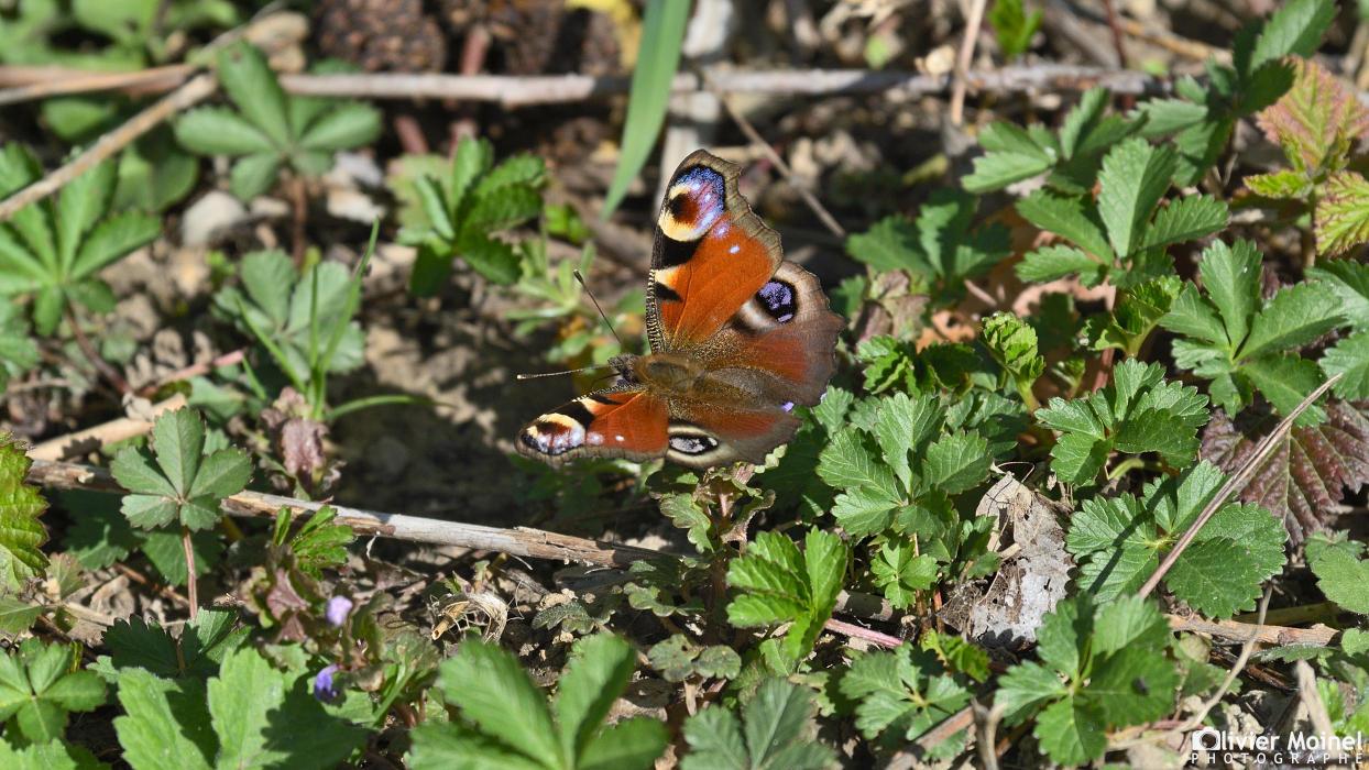 Papillon Paon-du-jour posé au sol