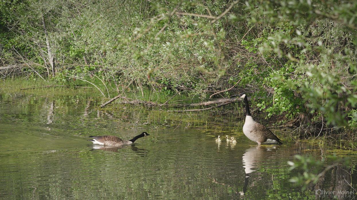 Bernache du Canada rejoignant sa famille sur la rive d'un étang