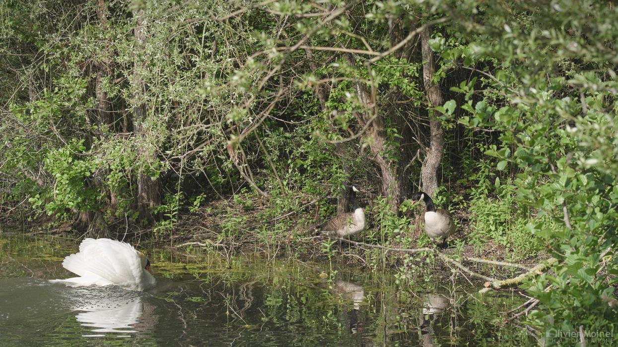 Cygne tuberculés, sur l'eau, se dirigeant vers deux bernaches au bord de l'étang