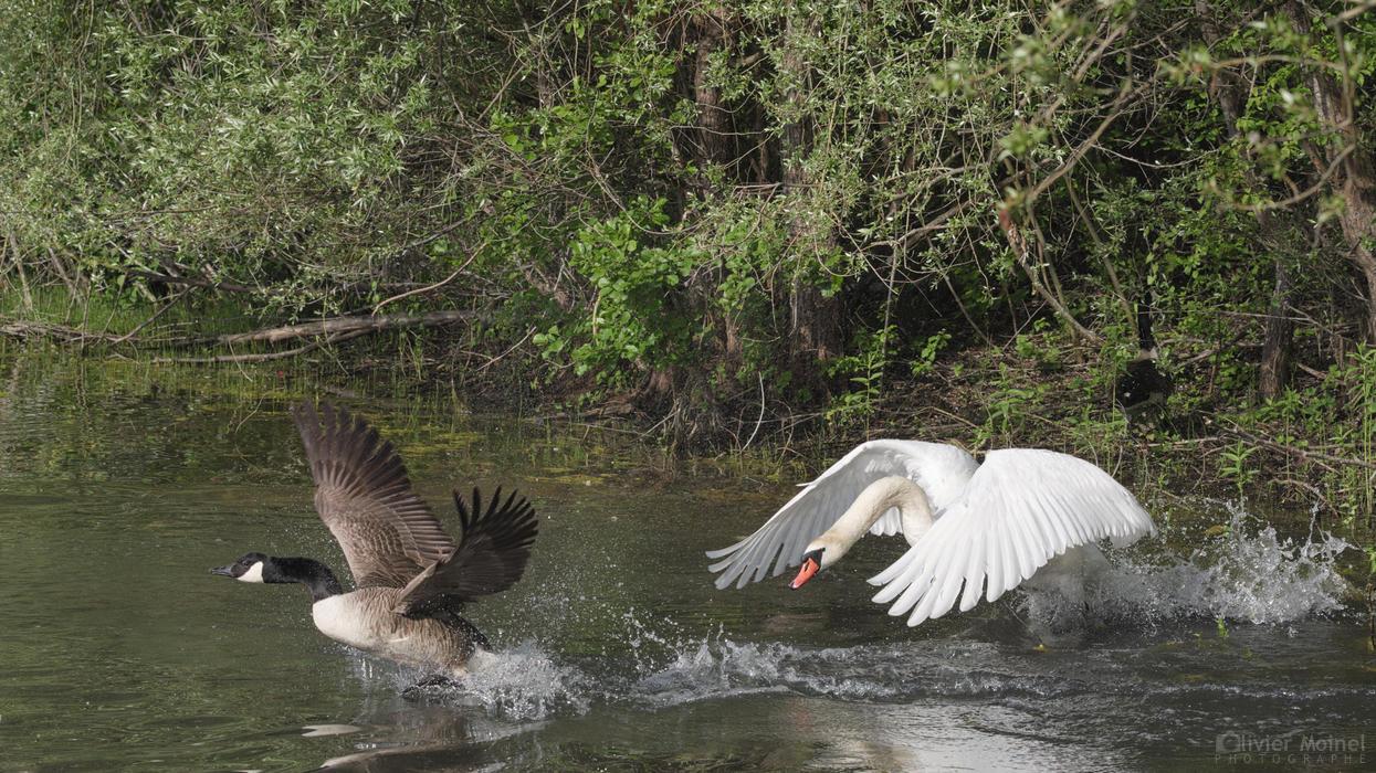 Bernache du Canada poursuivie par un Cygne tuberculé sur l'eau d'un étang