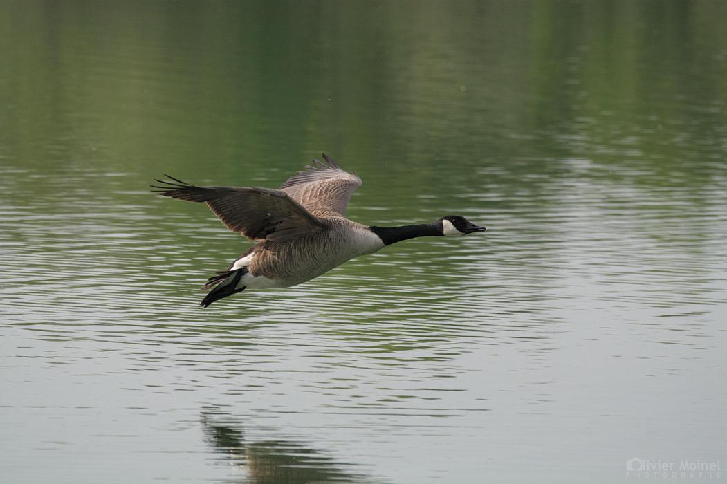 Bernache du Canada volant au ras de l'eau