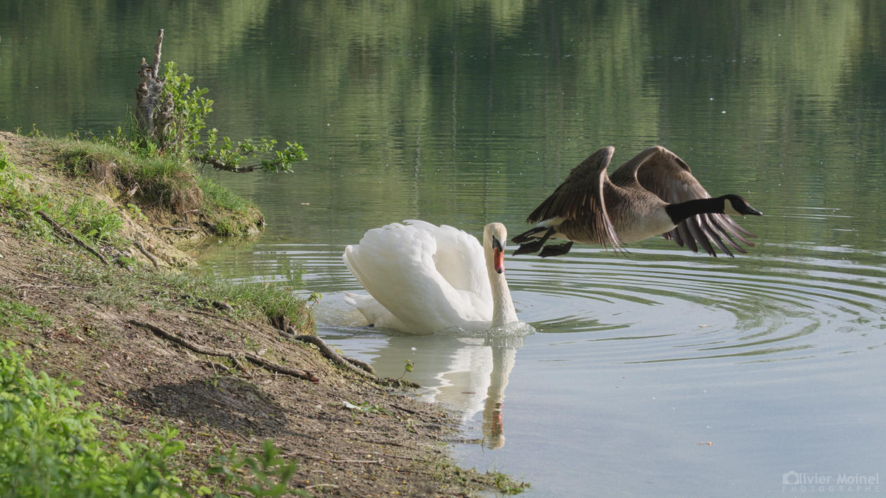 Envol d'une Bernache du Canada depuis la berge d'un étang