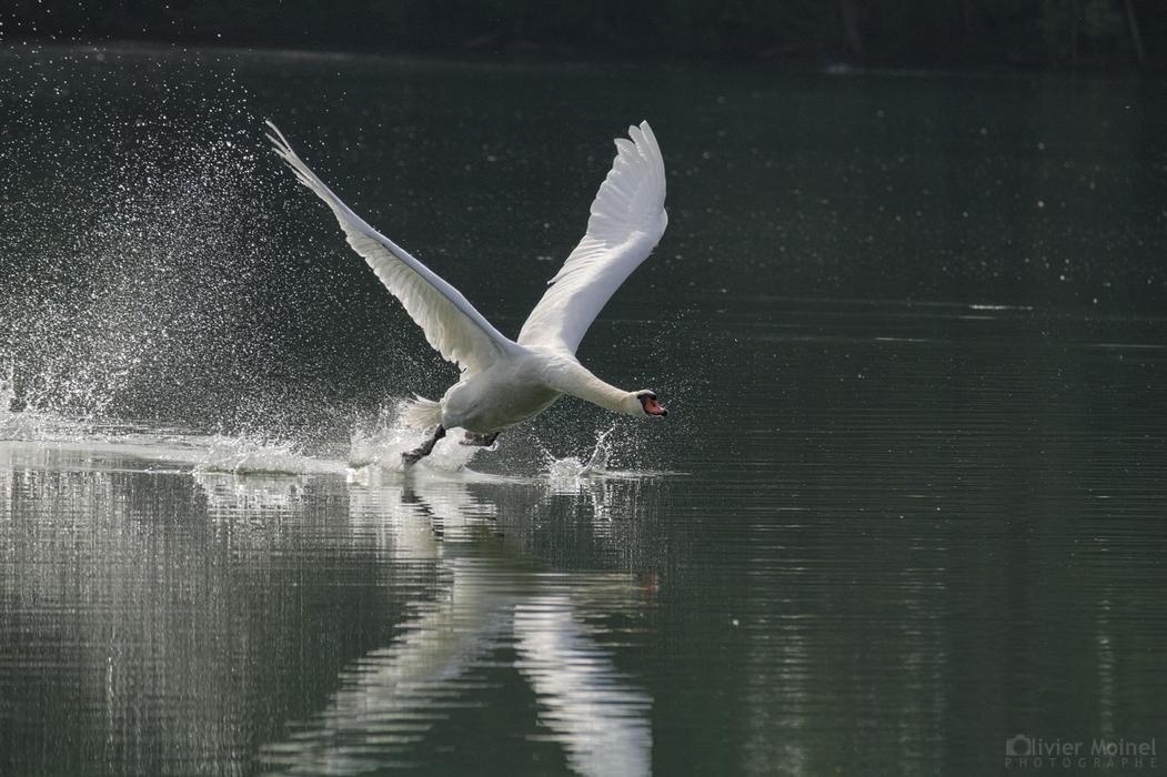 Envol d'un Cygne tuberculé sur les eaux d'un étang