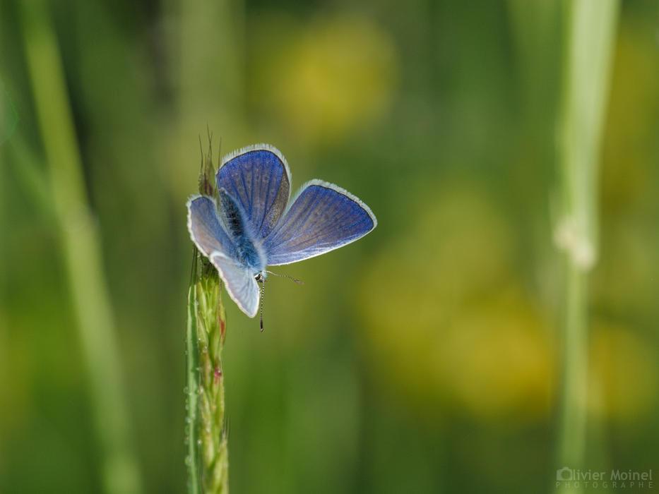 Papillon Azuré commun, en haut d'une graminée
