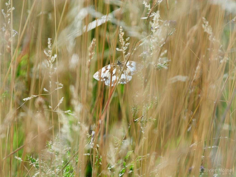 Papillon Demi-deuil au milieu des herbes folles