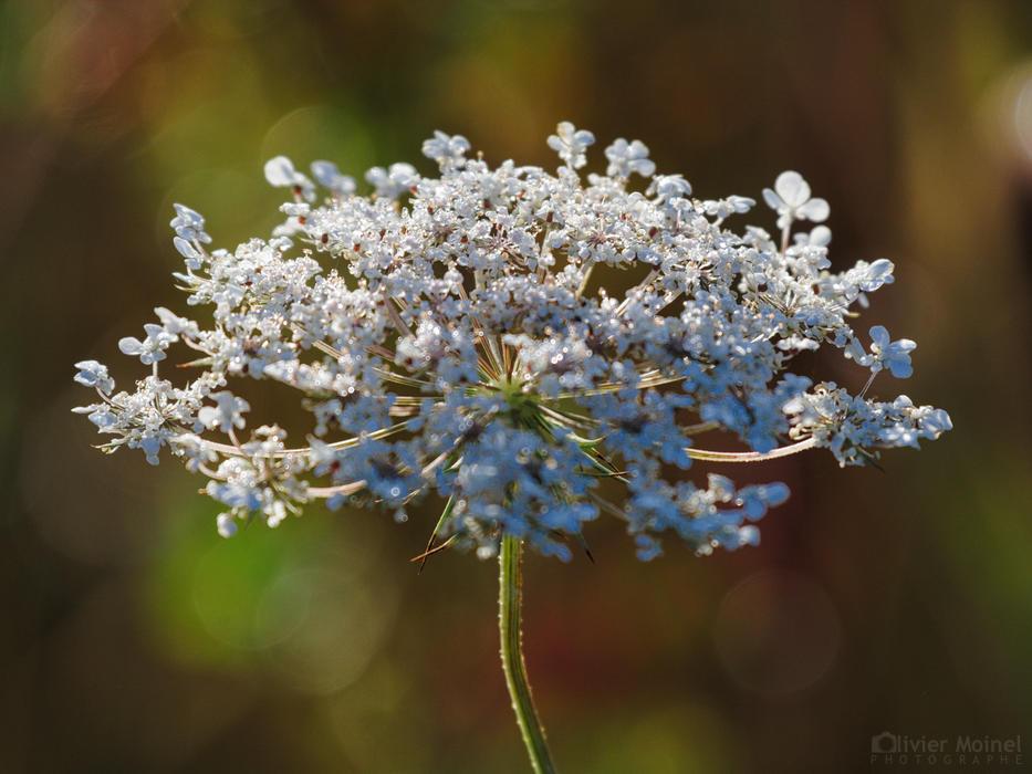 Fleur de Grande Berce en contre-jour