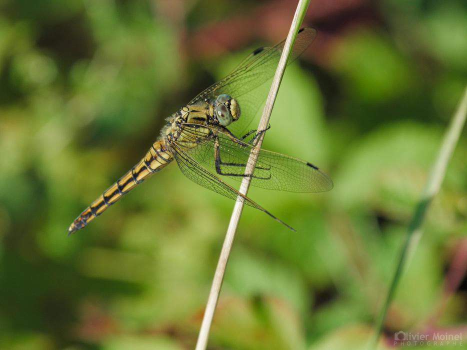 Orthétrum réticulé femelle sur une herbe sèche