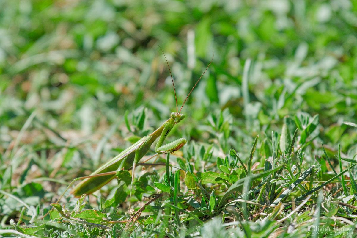 Mante religieuse dans l'herbe verte
