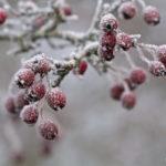 Fruits de l'Aubépine couverts de givre