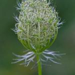 Fleur de Carotte sauvage au printemps