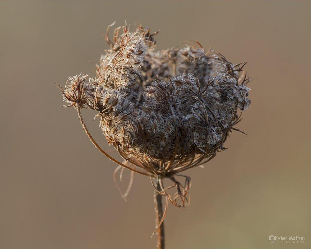 Fleur de Carotte sauvage desséchée par l'hiver
