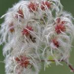 Fleurs de Clématite vigne-blanche