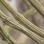 Lianes de Clématite vigne-blanche