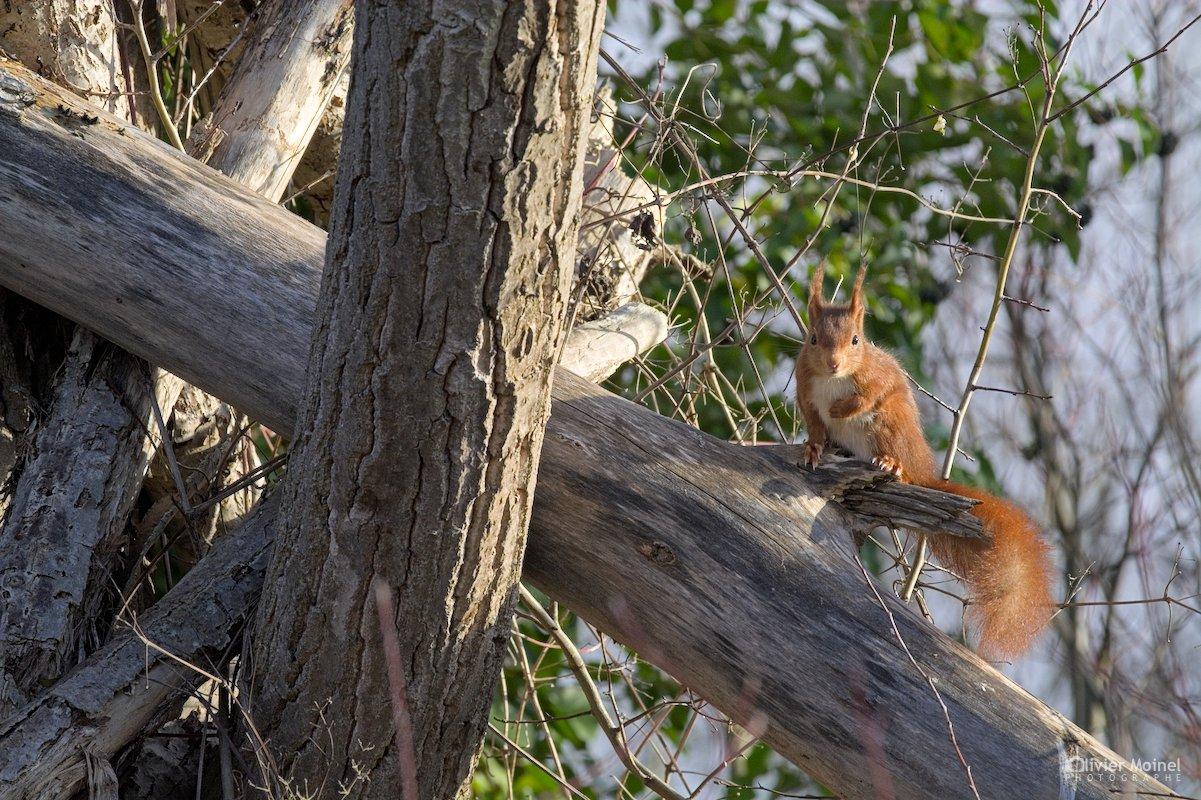 Écureuil roux sur une branche d'arbre, un matin d'hiver