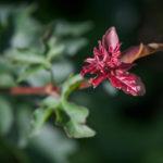 Jeune pousse d'Érable champêtre