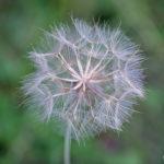 Fleur en aigrettes