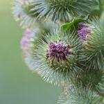 Fleur de Grande Bardane