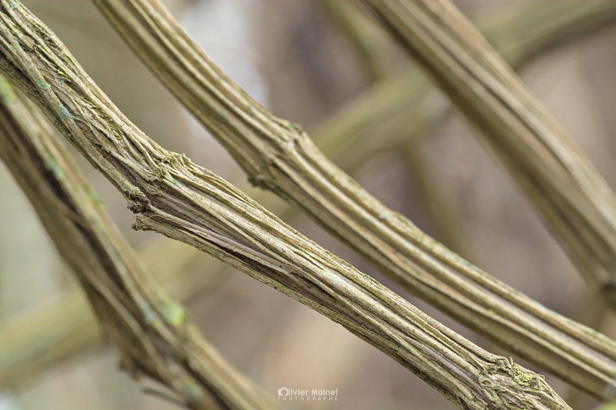 Lianes de Clématite vigne blanche sur un chemin en hiver