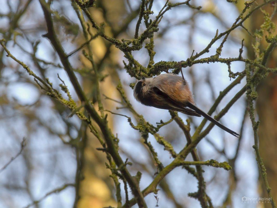 Mésange à longue queue suspendue à une branche, un matin d'hiver
