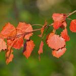 Feuilles de peuplier rougies par l'automne
