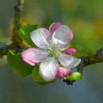 Fleur de Pommier sauvage