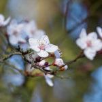 Fleurs de Prunus myrobolan