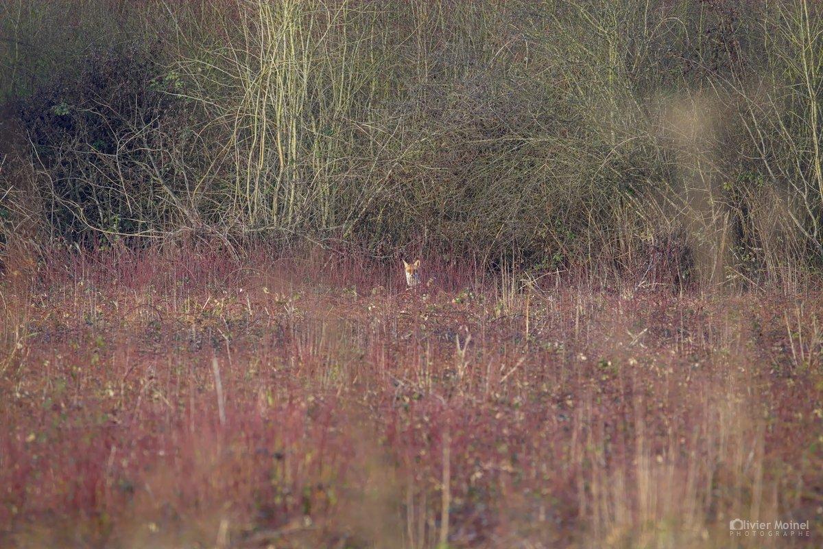 Renard roux et lisière de buissons, un matin d'hiver