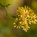 Bouquet de fleurs de Séneçon jacobée