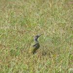 Jeune femelle Pic vert