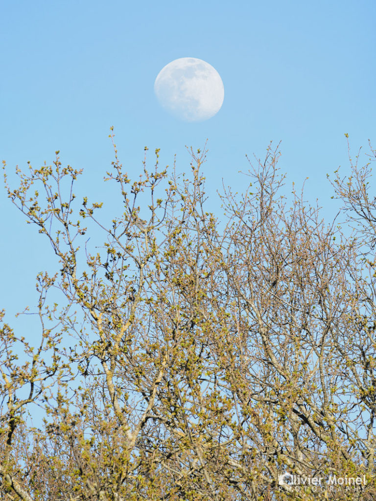 Lune gobeuse au dessus de la cime des arbres
