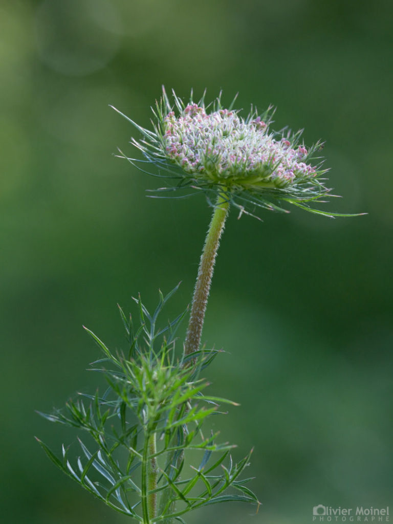 Jeune fleur de Carotte sauvage