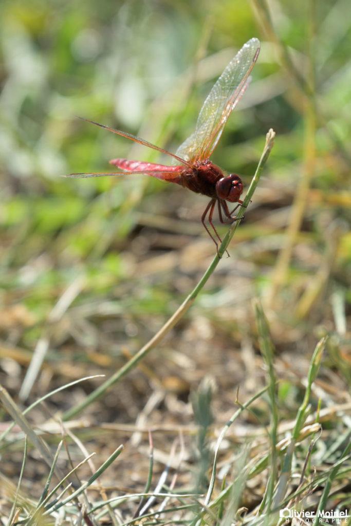 Crocothémis écarlate mâle, perché une tige d'herbe