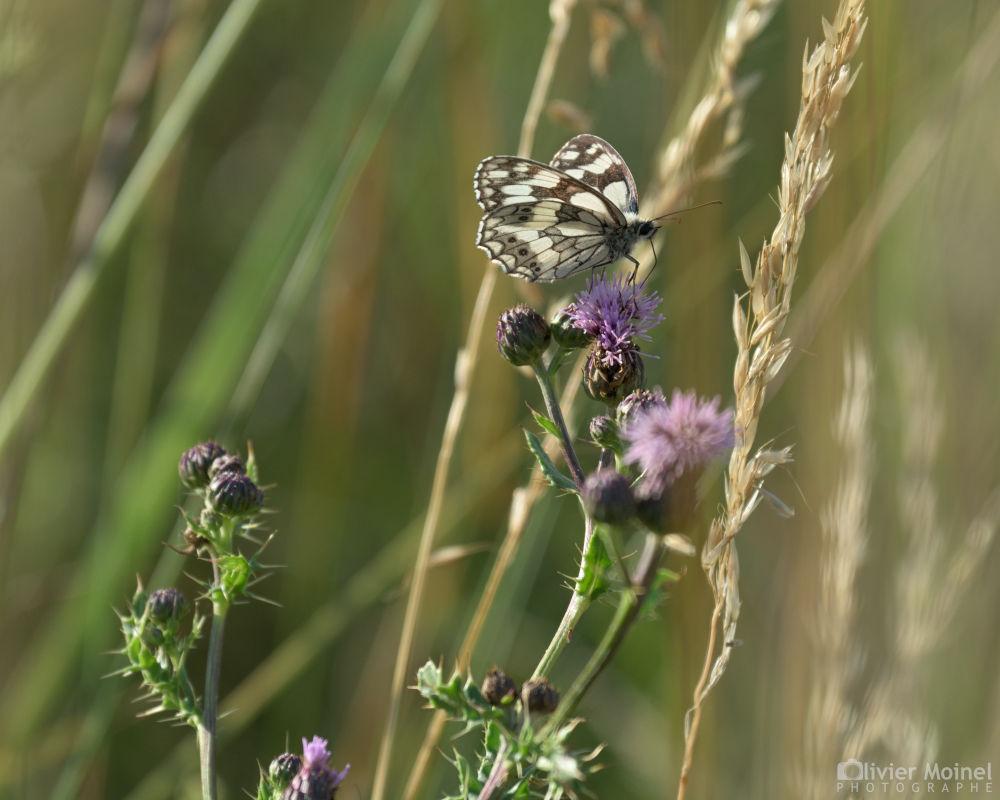 Papillon Demi-deuil perché sur une fleur de chardon