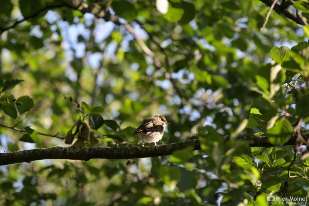 Jeune Fauvette à tête noire, perchée sur une branche