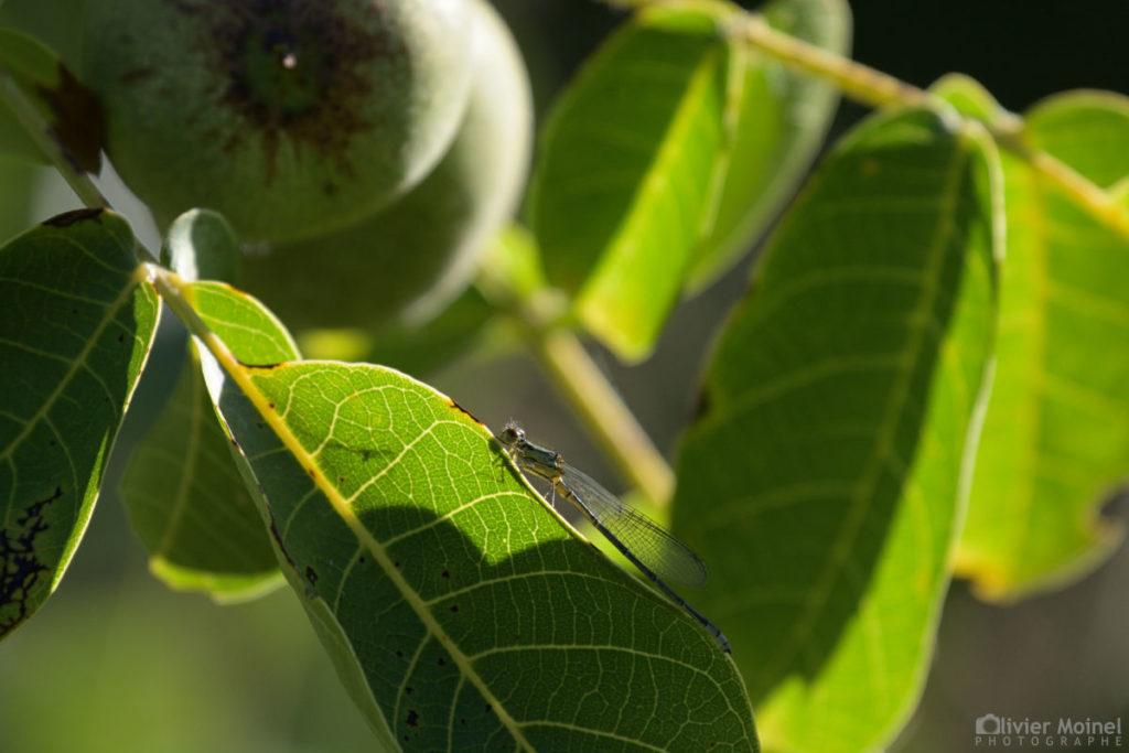 Leste vert accroché sur la tranche d'une feuille de Noyer commun